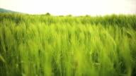 Wheat field in vibrant green video