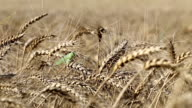 Wheat field. Locust on ripe wheat. video