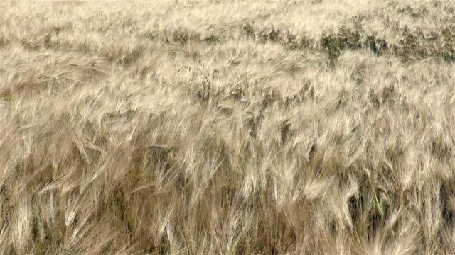 Wheat field moves on the wind view from the top video