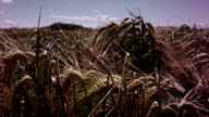 Wheat field moving into the wind video