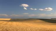 HD Wheat field on blue sky background video