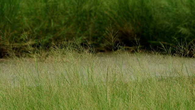 Wheat field on wetland video