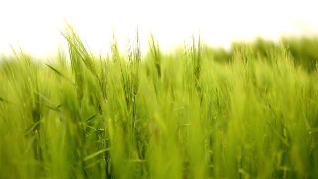 Wheat field on wind video