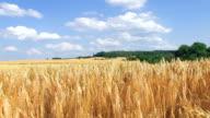 Wheat field - Panorama video