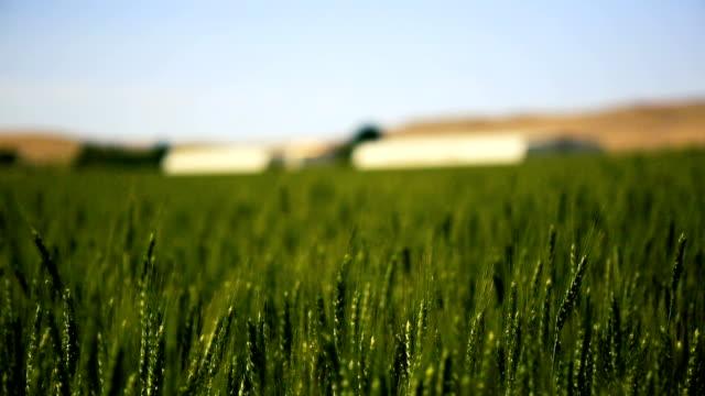 Wheat field rack focus video