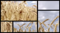 Wheat field. Split Screen video