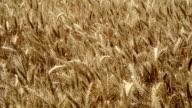 Wheat Field Swaying video