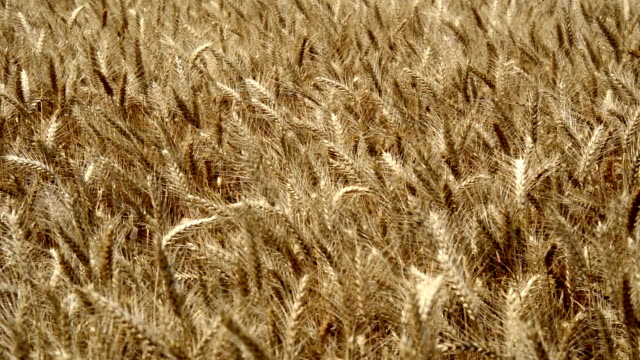 Wheat Field Swaying video
