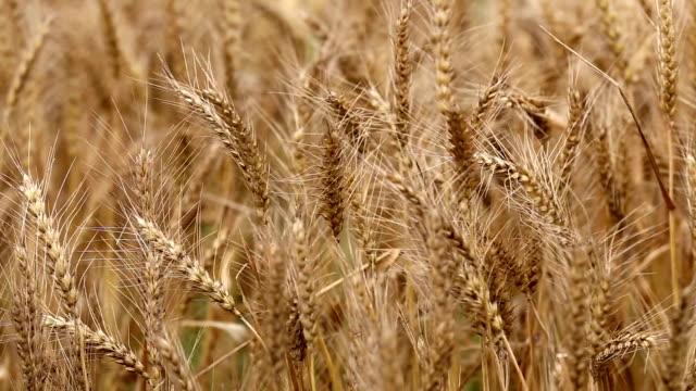 Wheat Field Swinging video