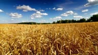 Wheat field time lapse video