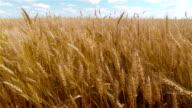 Wheat Field video