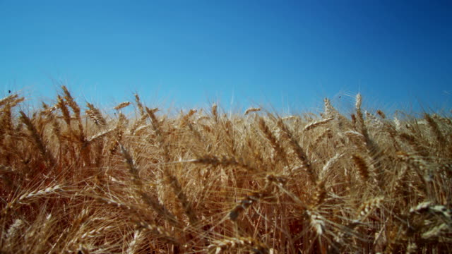 Wheat field with blue sky video
