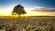Wheat field with oak video
