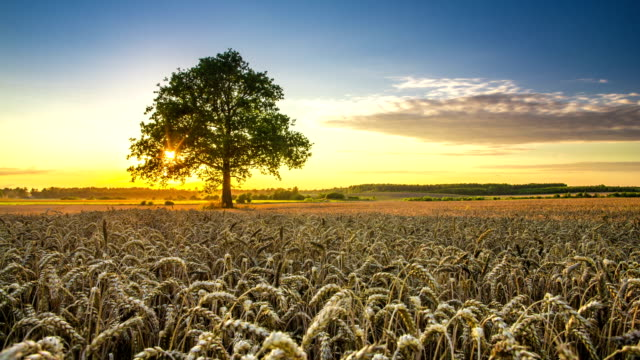 Wheat field with oak video