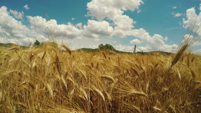 Wheat grain field on 4k video