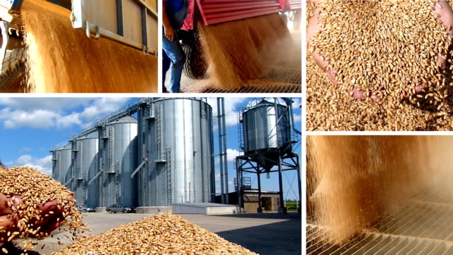 Wheat grain of successful farmer video