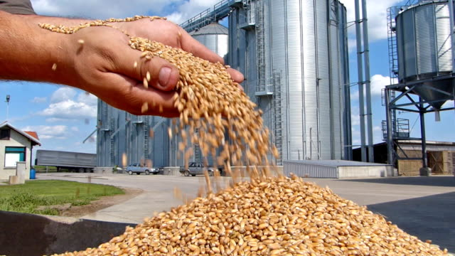 Wheat in a hand, good harvest video