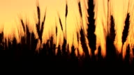 Wheat in silhouette at sunset video