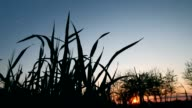 Wheat leaves in sunset video