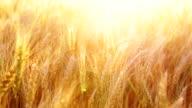 Wheat on sunset video