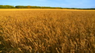 Wheat ready for harvesting video