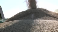 wheat rye grain loading to trailer pile at the time of harvest. Handheld. FullHD video
