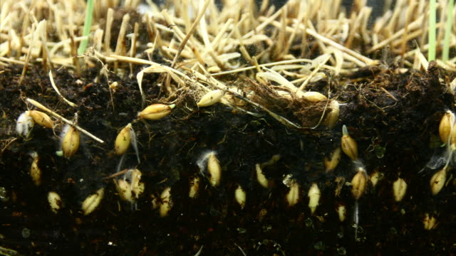 Wheat seeds growing video