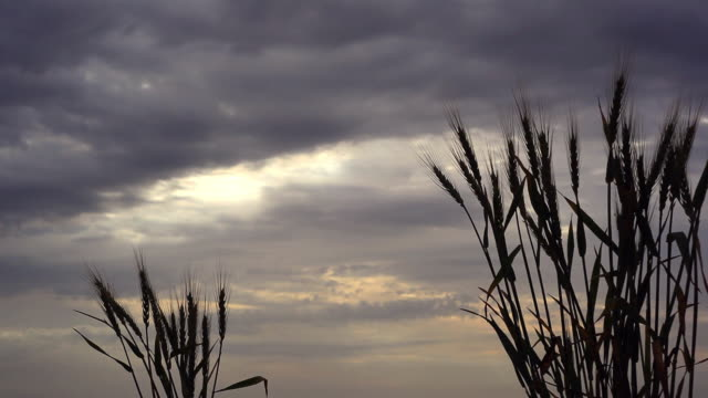 Wheat Silhouette against morning cloudy sky video
