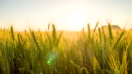 WS DS Wheat Stalks At Sunset video