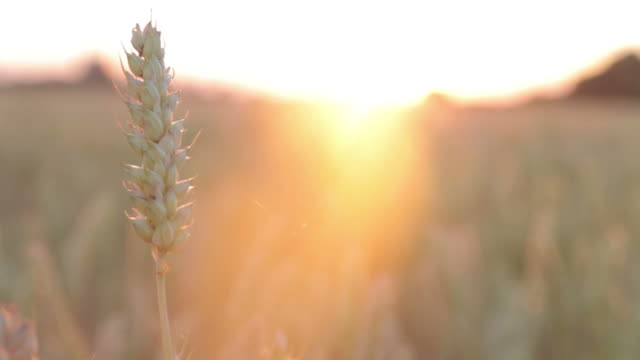 Wheat straw in sunset video