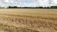 Wheat straw in the field after harvest video