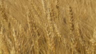 HD SLOW MOTION: Wheat Swaying In The Breeze video