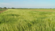 HD SLOW MOTION: Wheat Swaying In The Wind video