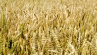 Wheat swinging slowly in the wind video