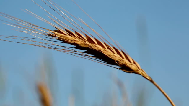 Wheat video
