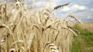 Wheat. video