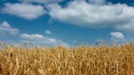 Wheat video