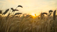 Wheat_Sunset_Pan_4K video