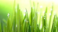 Wheatgrass with dew drop video