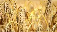 Wheats video