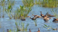 Whistling Ducks With Audio video