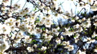 White almond blossoms video