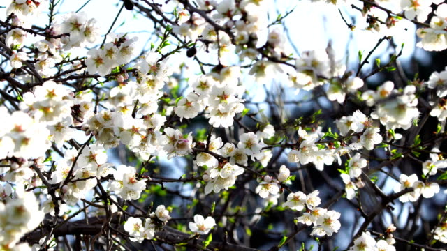 White almond blossoms video