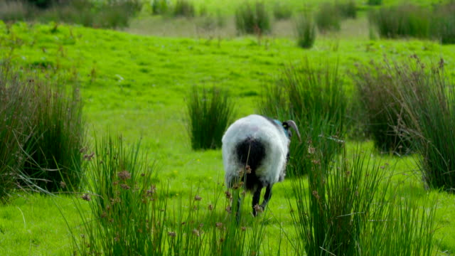 A white and black sheep walking on the grass Ireland video