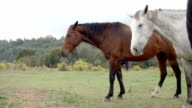 White and brown horses side view in nature outdoor - HD video footage video