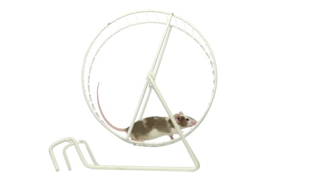 White and brown mouse running in a wheel video