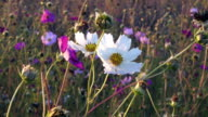 White and pink cosmos flowers sway on the wind, closeup video