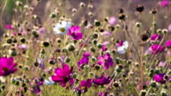 White and pink cosmos flowers sway on the wind video
