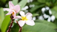 white and yellow plumeria frangipani flowers with leaves video