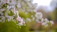 white Apple blossoms on a branch video